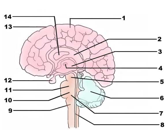 Brain Parts And Functions Inventory Form